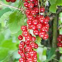 Redcurrant - Ribes rubrum 'Rovada'