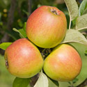 Apple - Malus domestica 'King of the Pippins'