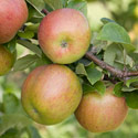 Apple - Malus domestica 'Lord Lambourne'