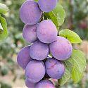 Plum - Prunus domestica 'Marjorie's Seedling'
