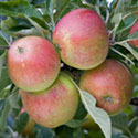 Apple - Malus domestica 'Queen Cox'