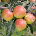 Apple - Malus domestica 'Meridian'