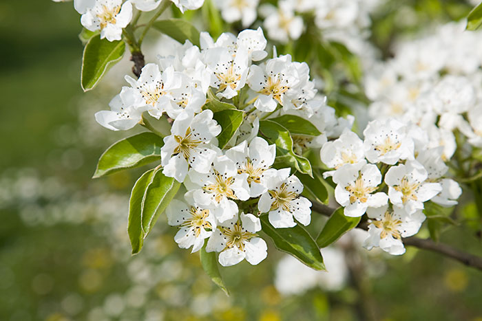 Pear blossom - Pyrus c...