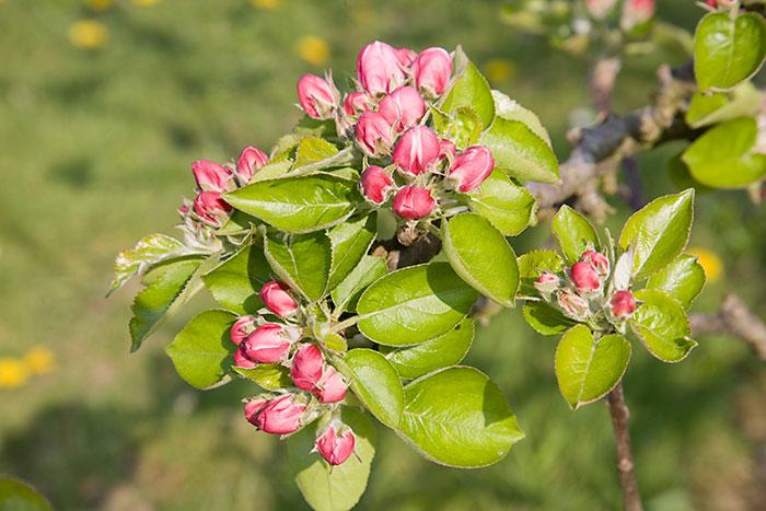 Apple blossom (pink bud stage) - Malus domestica 'Bramley ...