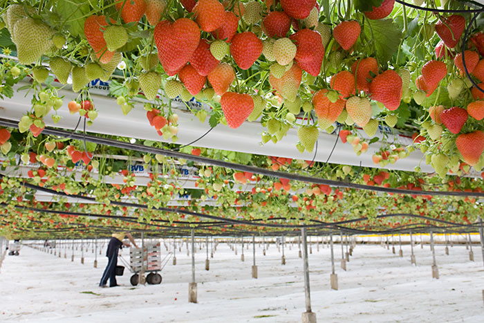 commercial strawberry crop under glass the tabletop system